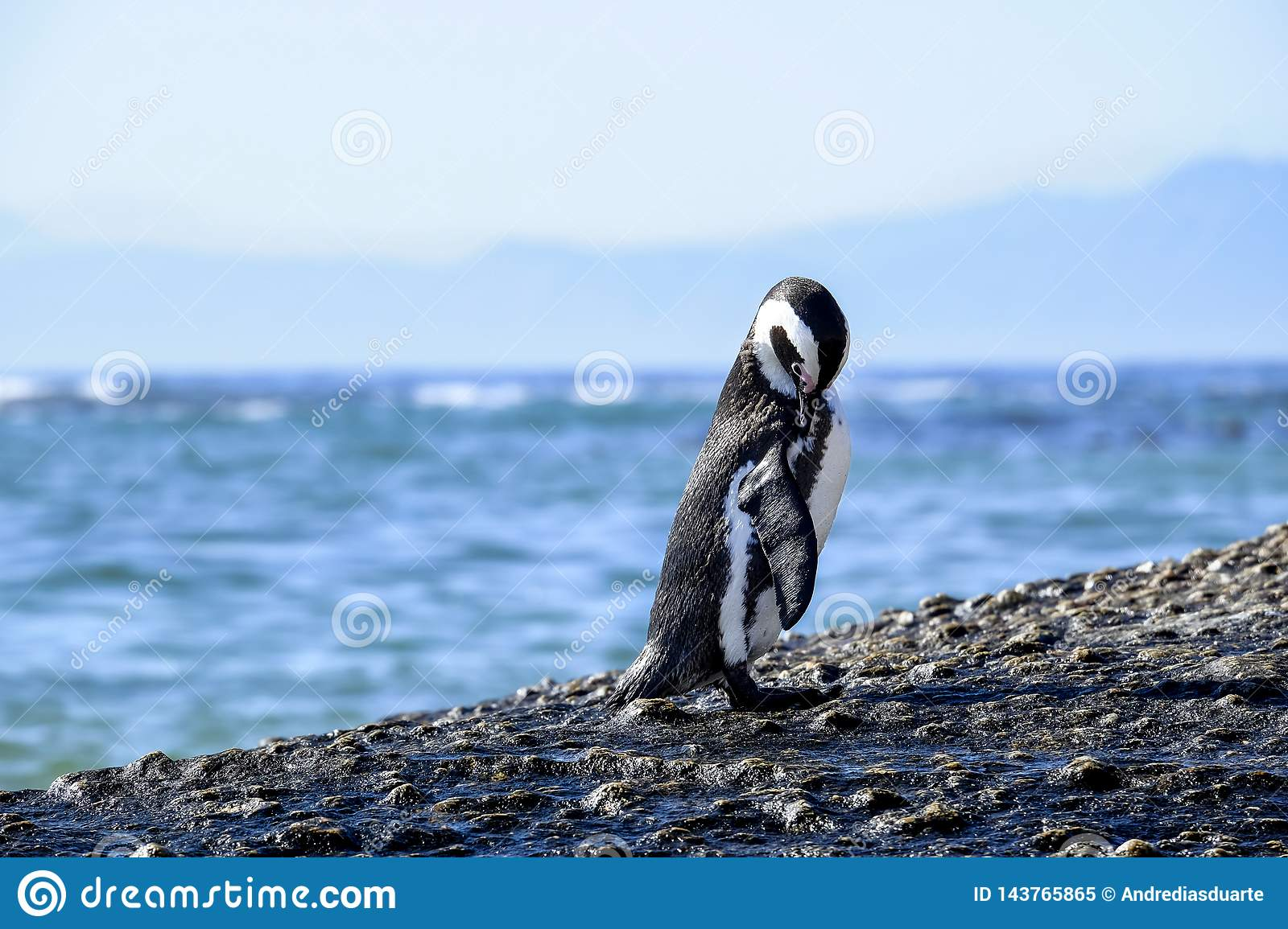 Penguin Standing On A Rock Stock Image Image Of Penguin