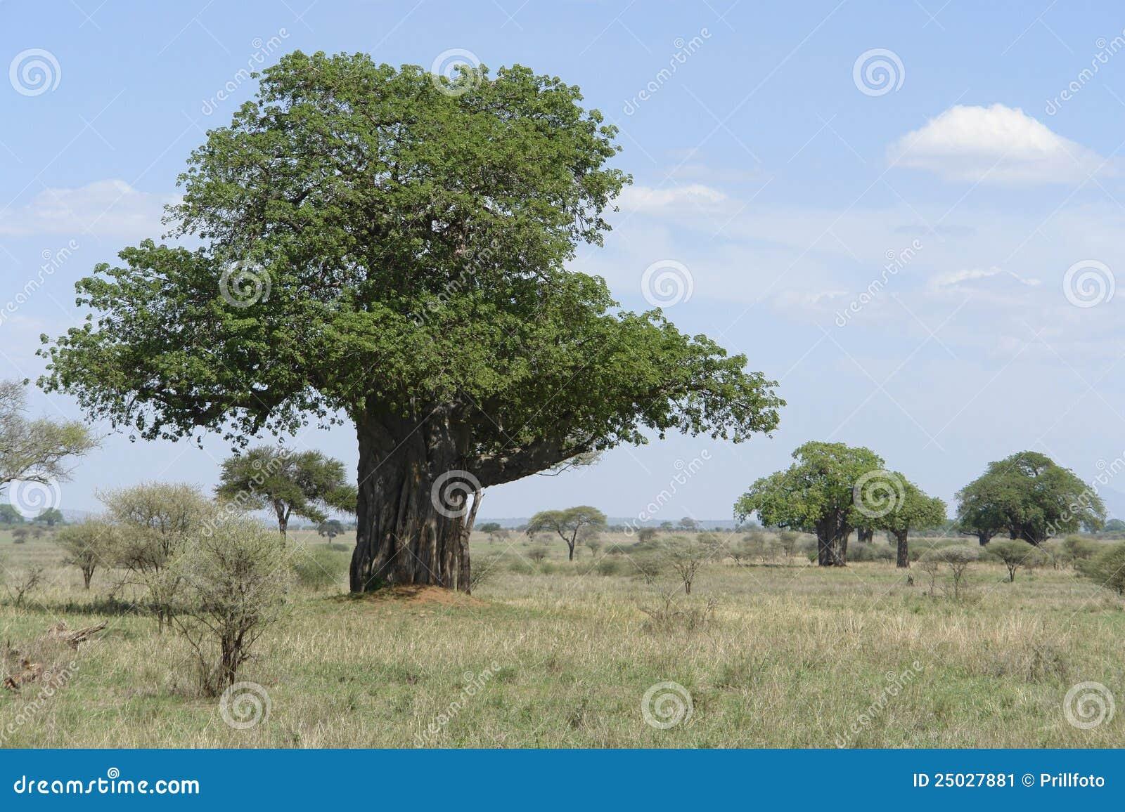 Africa baobabtree
