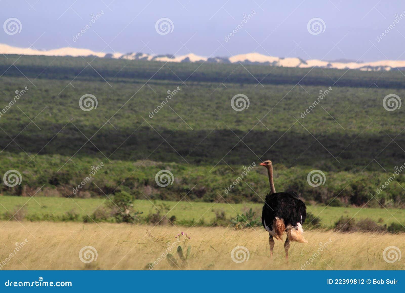 Africa dziki męski strusi południowy