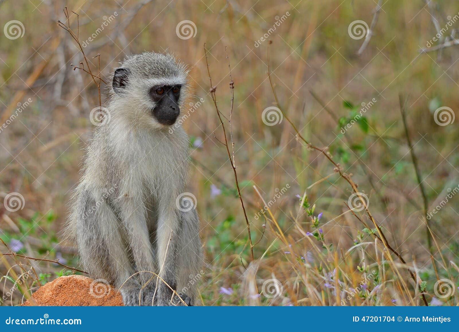 Africa jako cercopithecidae chlorocebus rodzina znać małpi rodzimy stary pygerythrus po prostu czasem vervet który świat