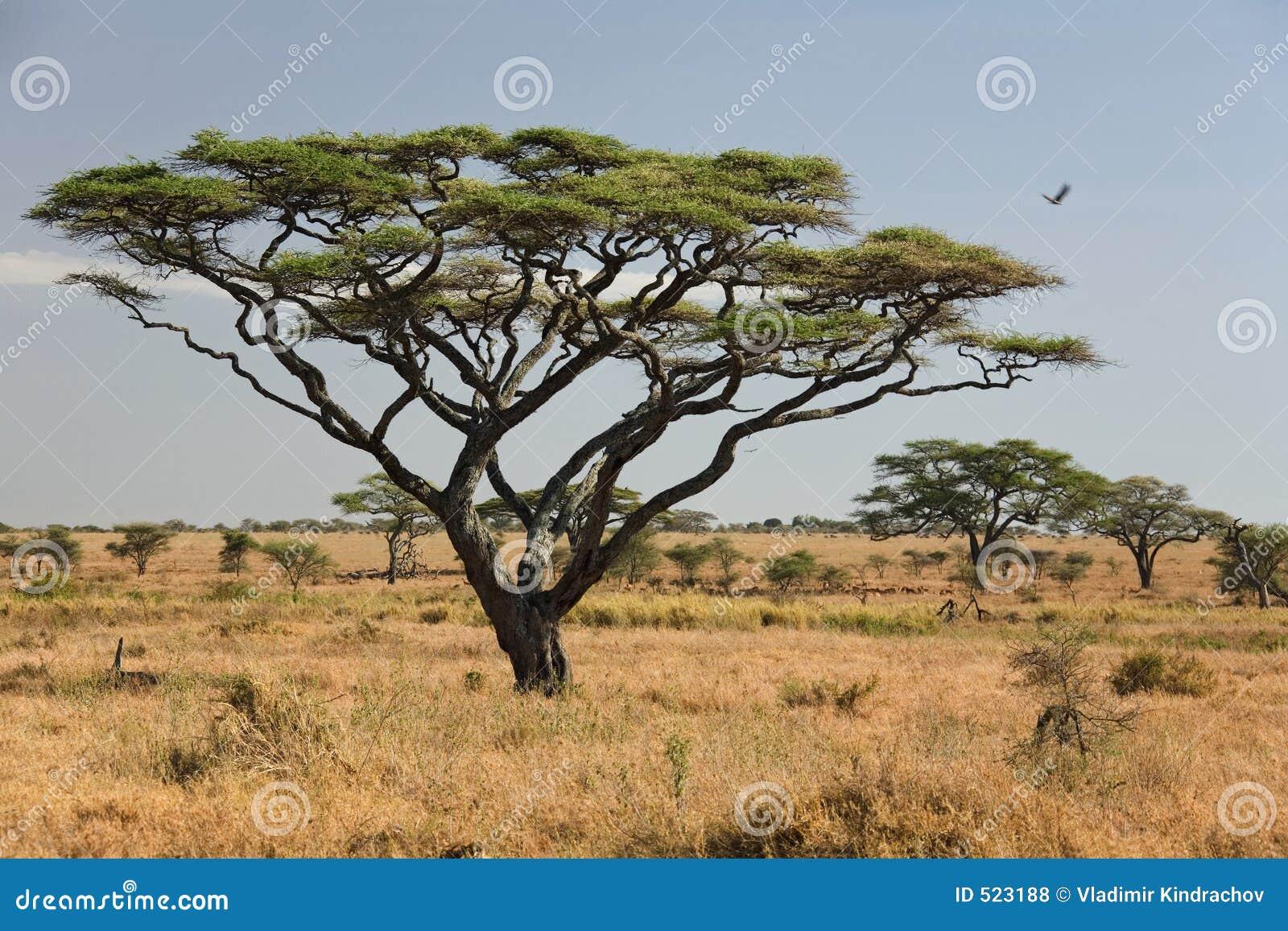 Africa landscape 027 serengeti stock photo image 523188 - Arbre africain en 7 lettres ...
