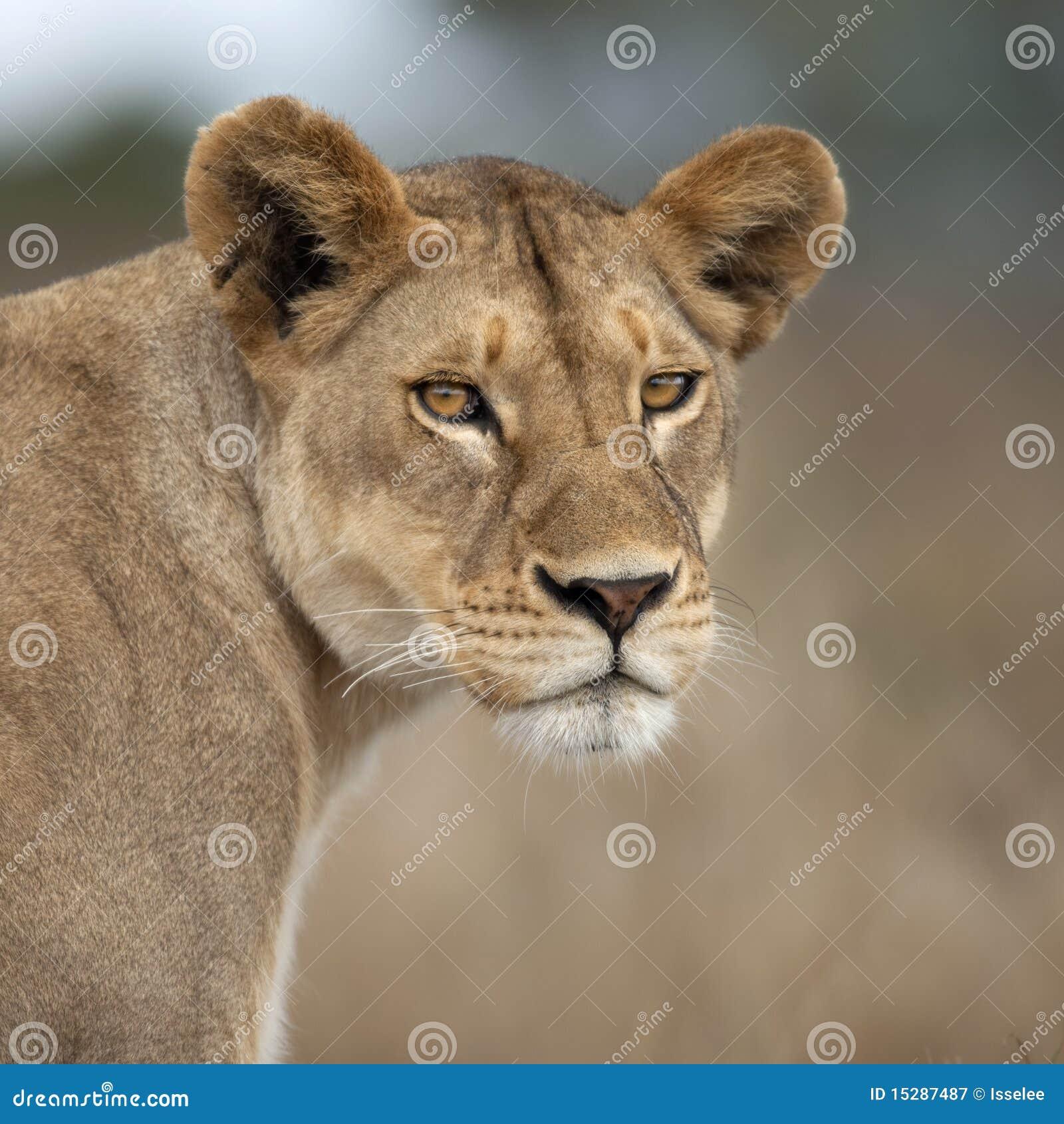 Africa lwicy serengeti Tanzania