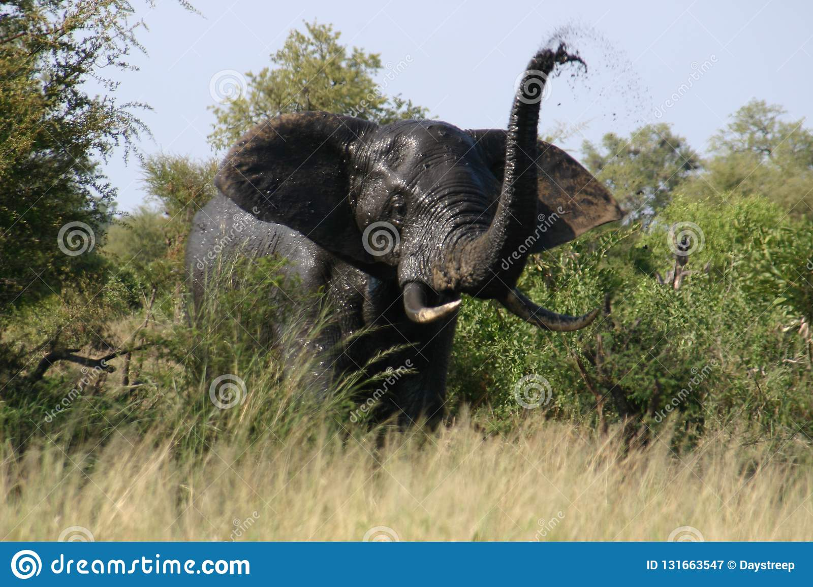 Elephant angry trumpet