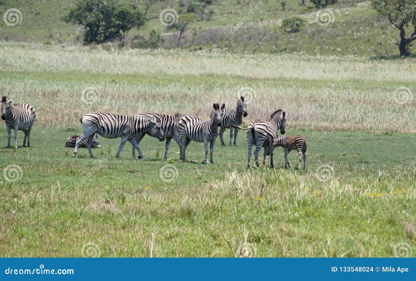 Africa stada zebry
