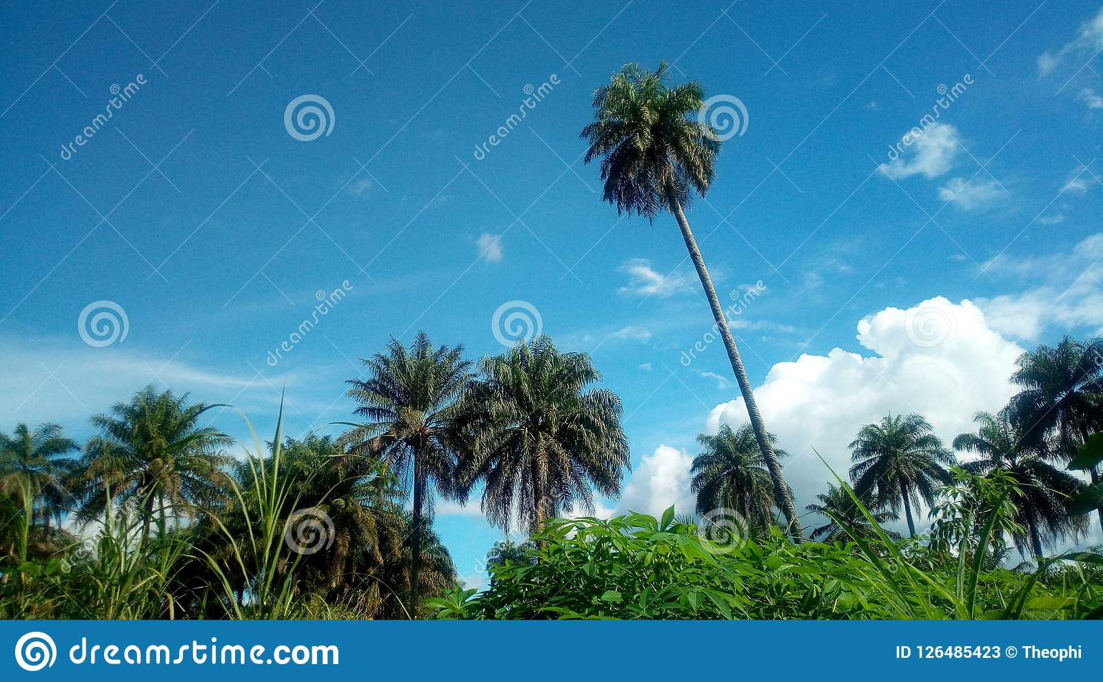 It Was Beautiful Afternoon For >> Africa Stock Image Image Of Like Admired Cassava 126485423