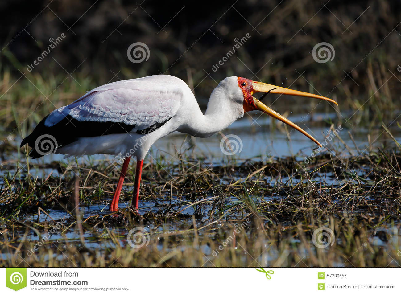 Africa Wild Bird Coming To Land Stock Photo - Image: 57280655