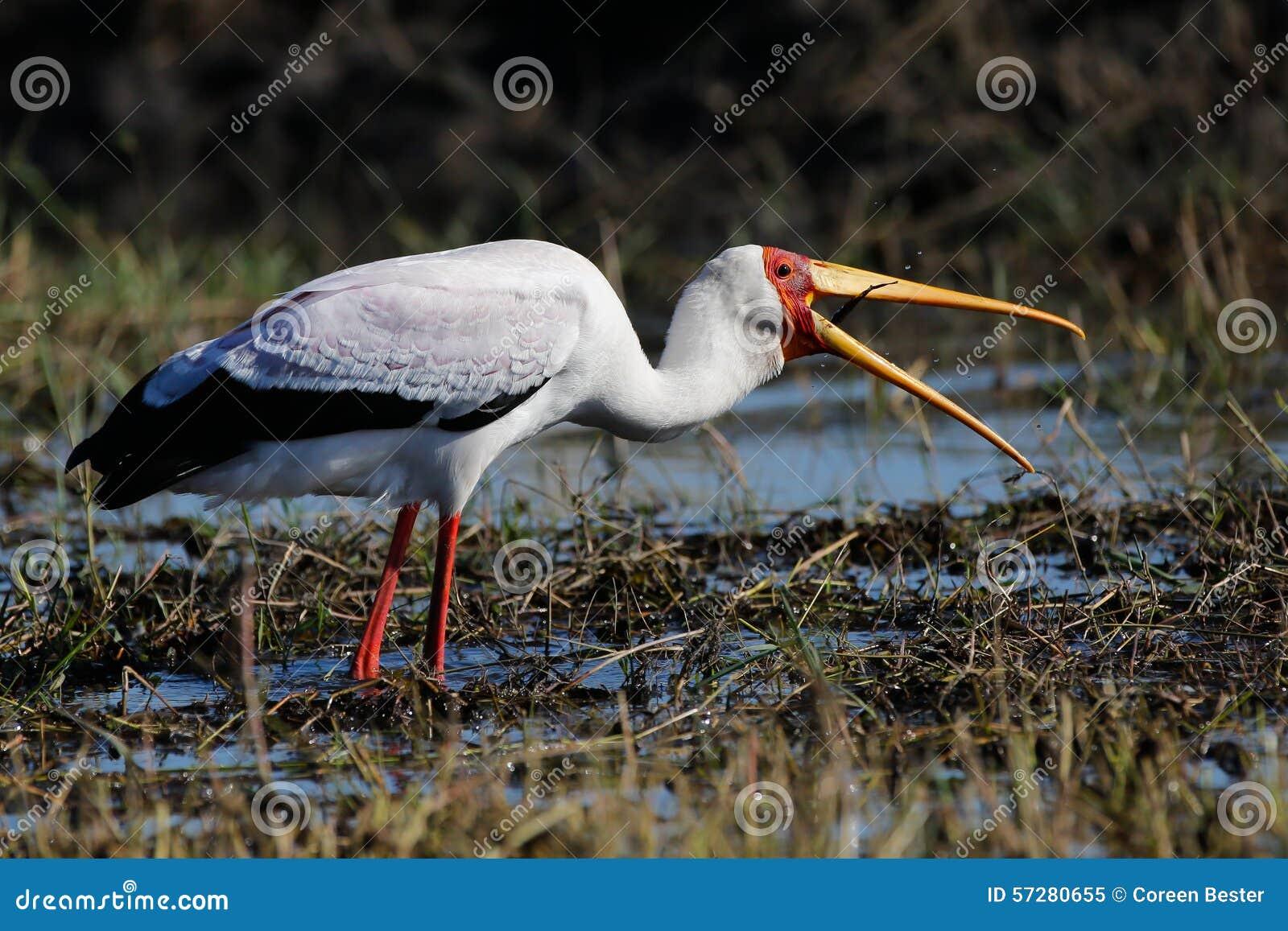 Africa Wild Bird Coming To Land Stock Photo - Image: 57280655