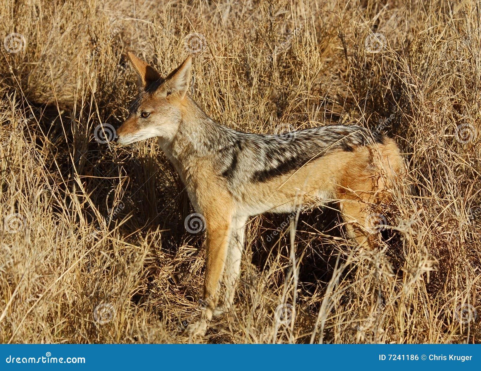 Africa Wildlife Black Backed Jackal Stock Photo Image