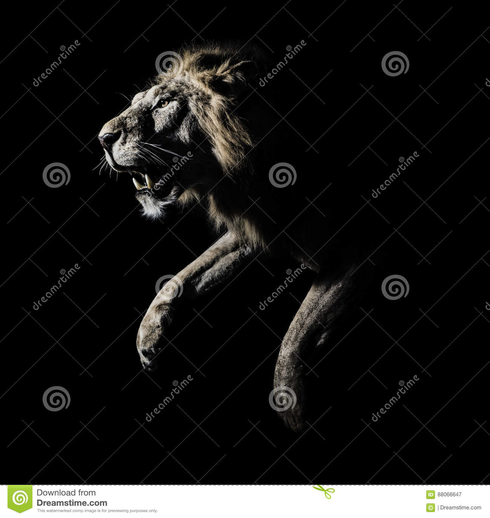 Africain masculin Lion Profile Running