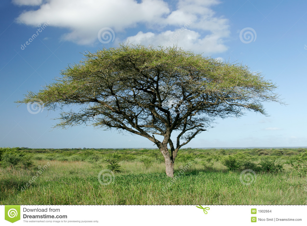 African landscape with an African Acacia tree (Acacia tortilis), Mkuze ...