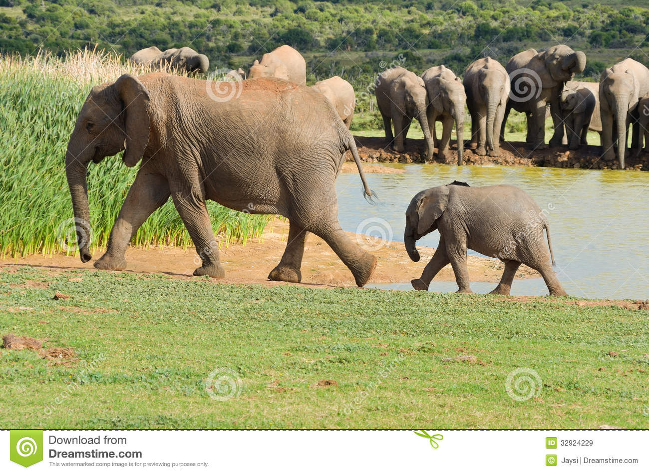 Royalty Free Stock Images African Animals Elephants Drinking Water Add...