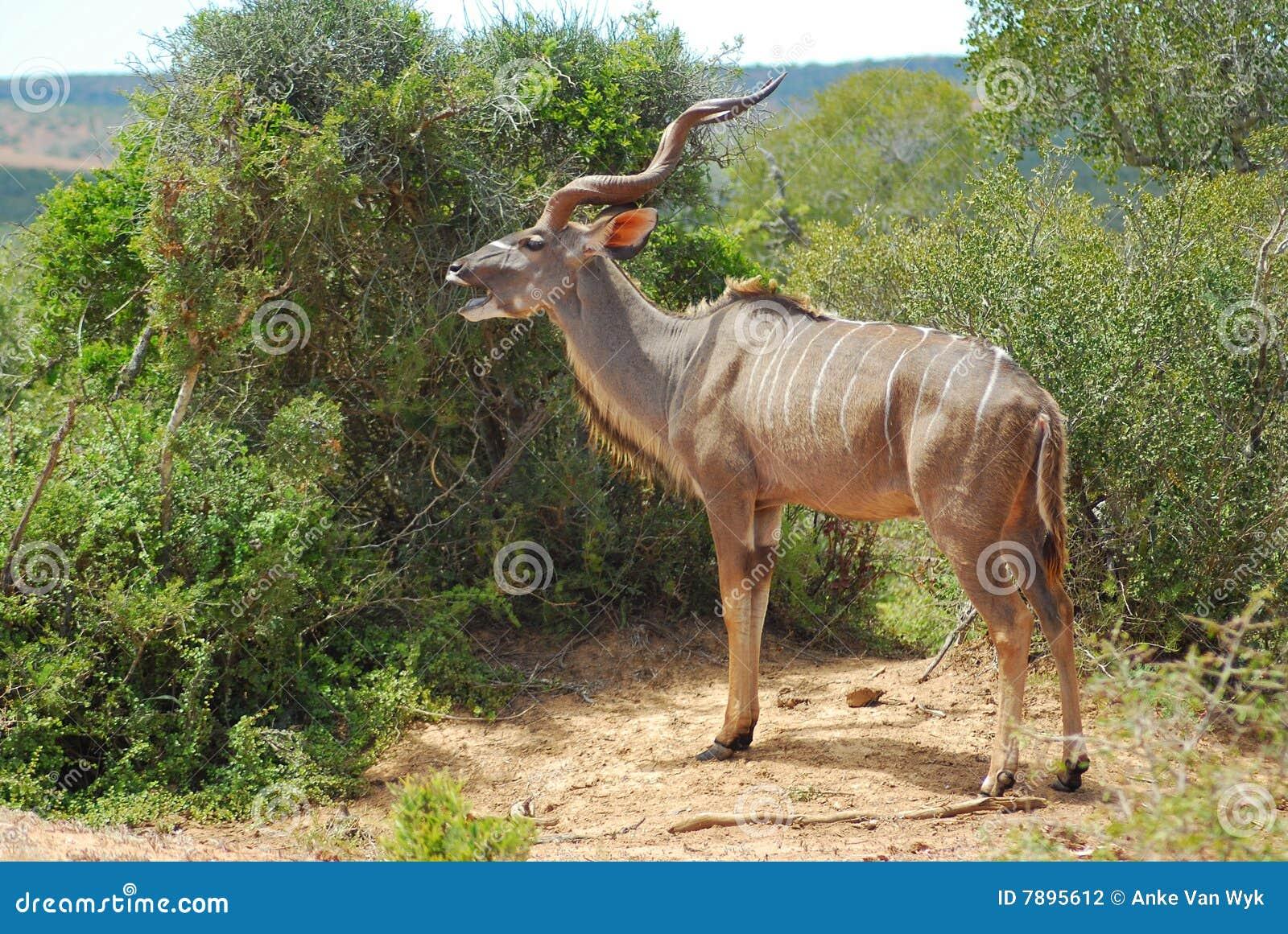 African antelope (Koedoe)