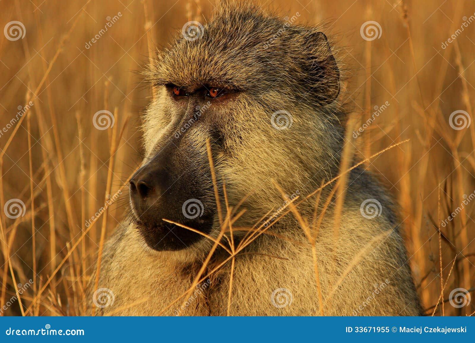 African baboon monkey