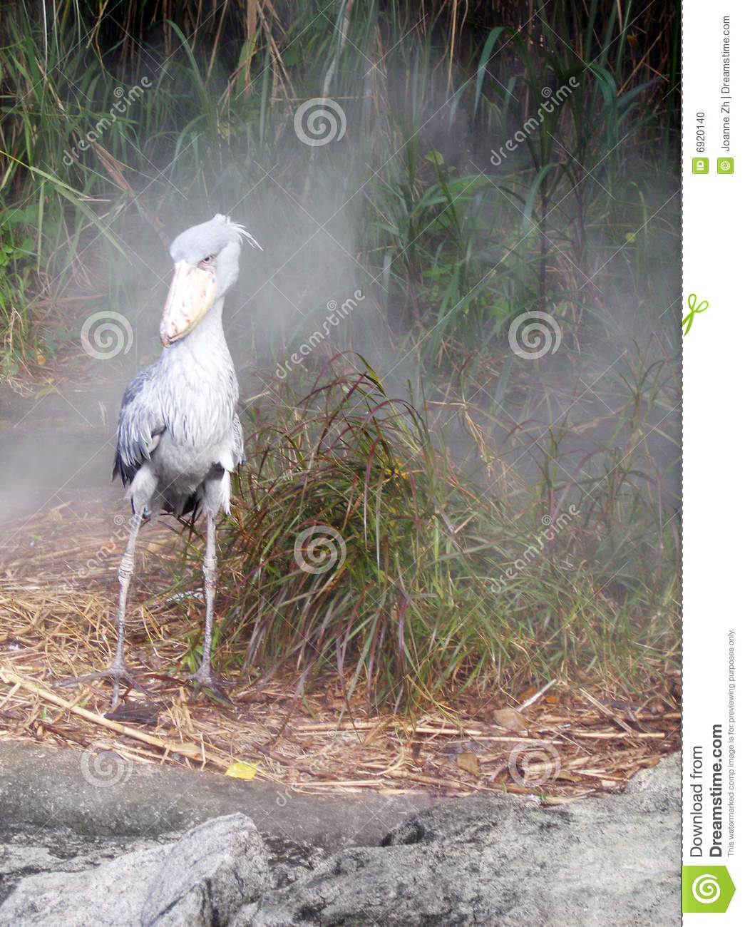 African Bird - Shoebill Stork In Morning Mist Stock Photo ...