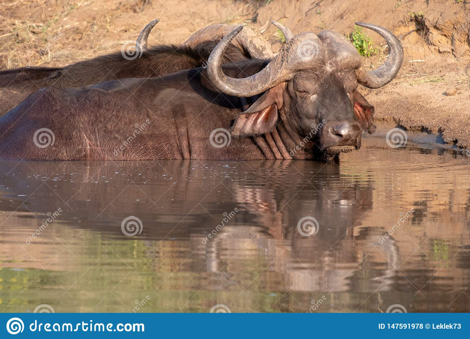 African Buffalo basking in the water in the late afternoon sun, photographed at Kruger National Park in South Africa.