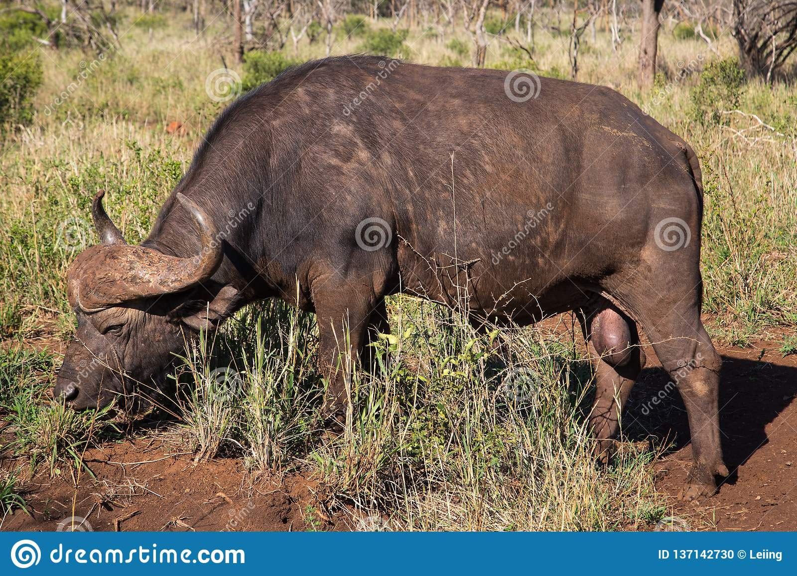 African Buffalo in Eastern South Africa