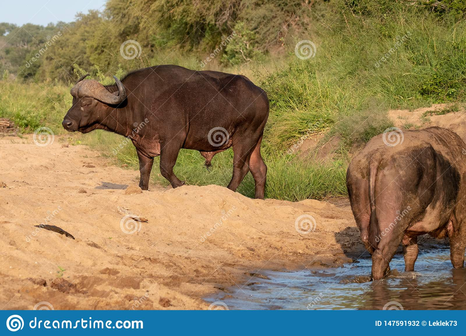 African Buffalo by the water in the late afternoon sun, photographed at Kruger National Park in South Africa.