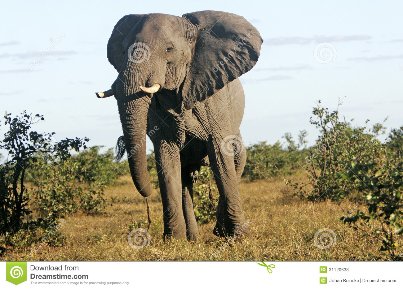 african bull elephant royalty free stock photos image