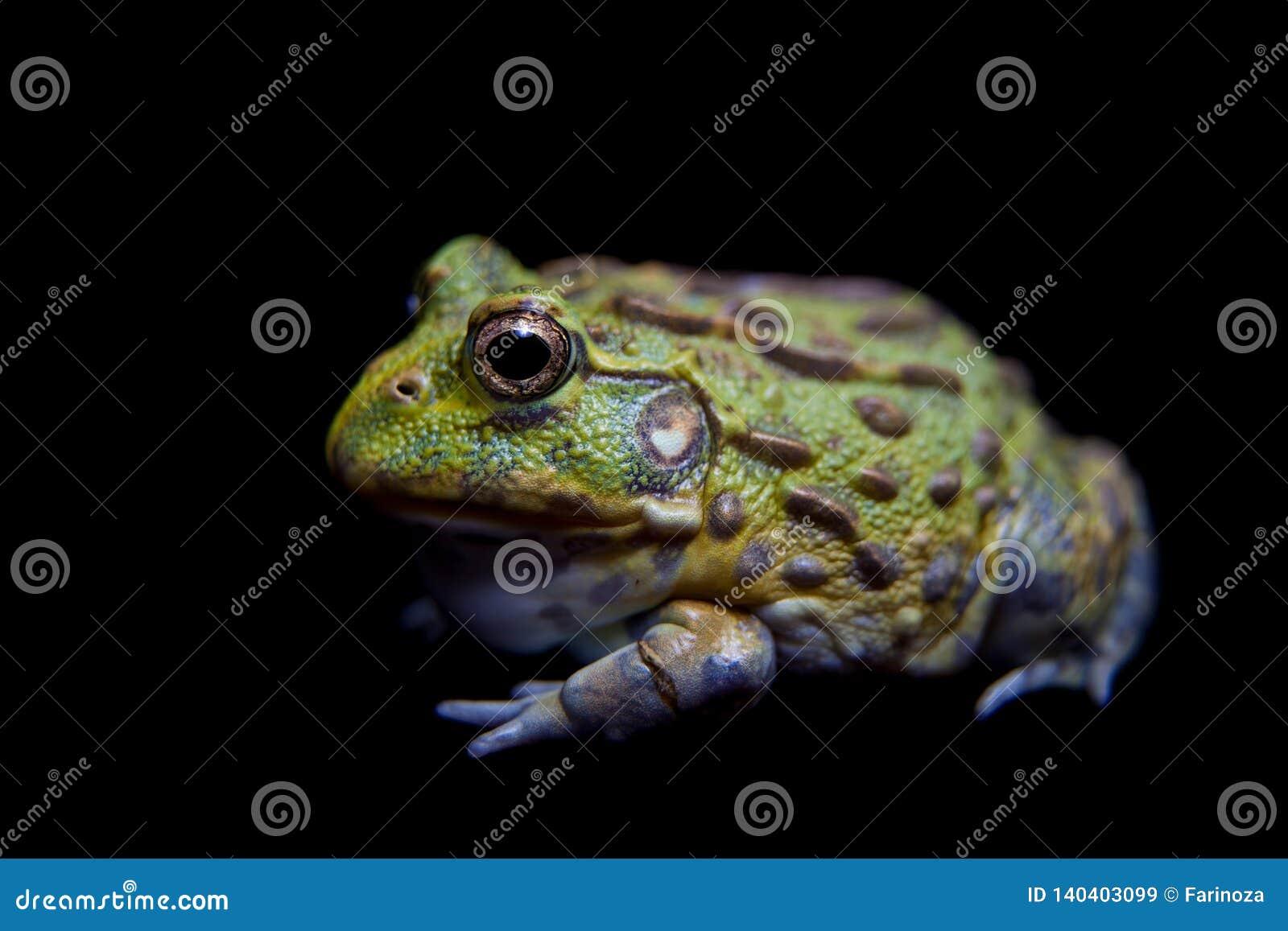 The African bullfrog on black