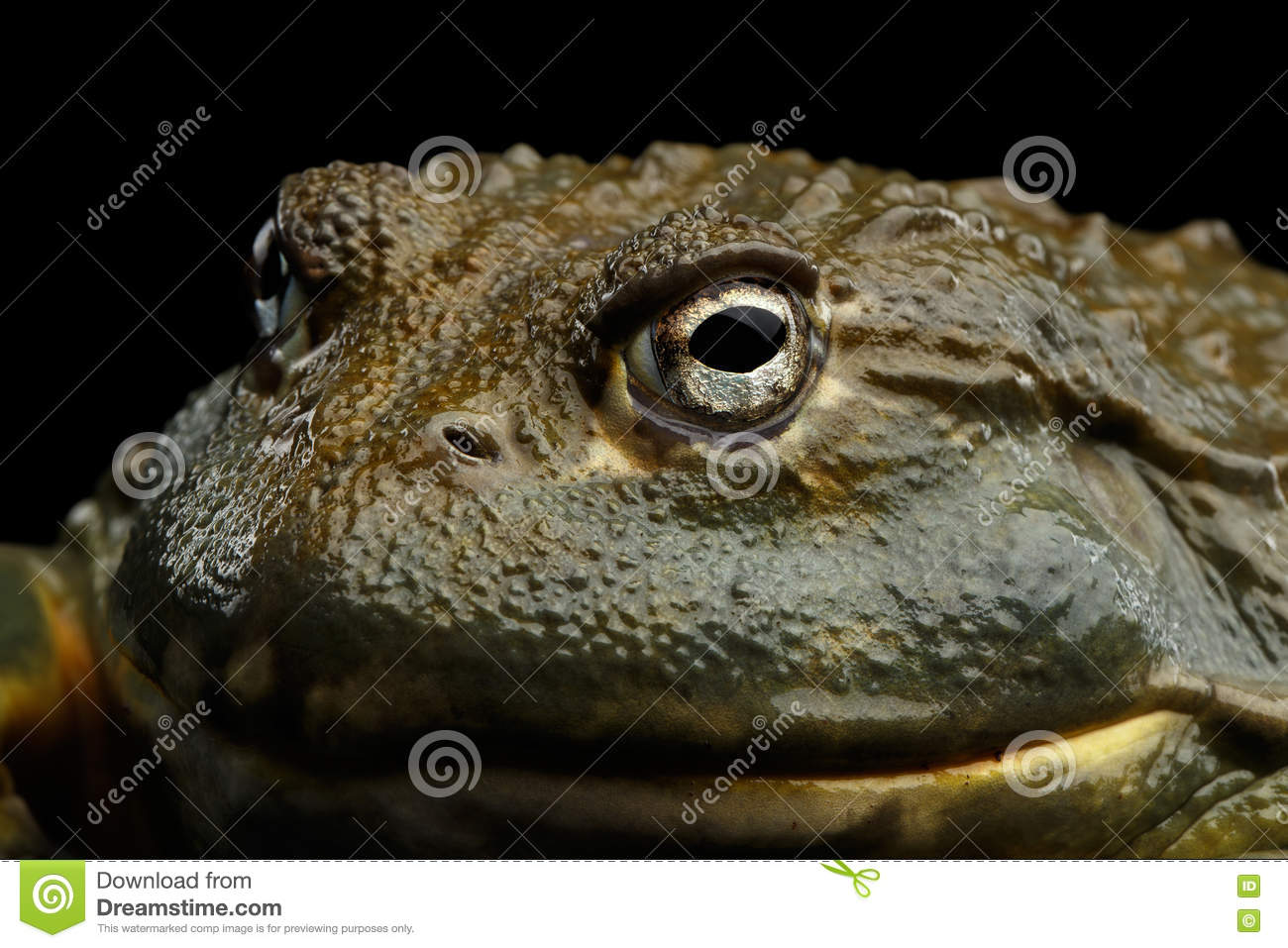 African bullfrog Pyxicephalus adspersus Frog isolated on Black Background