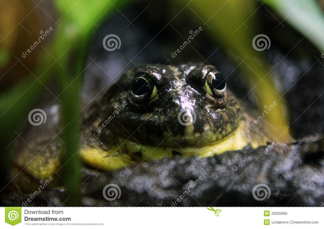 African Bullfrog, staring from hiding place