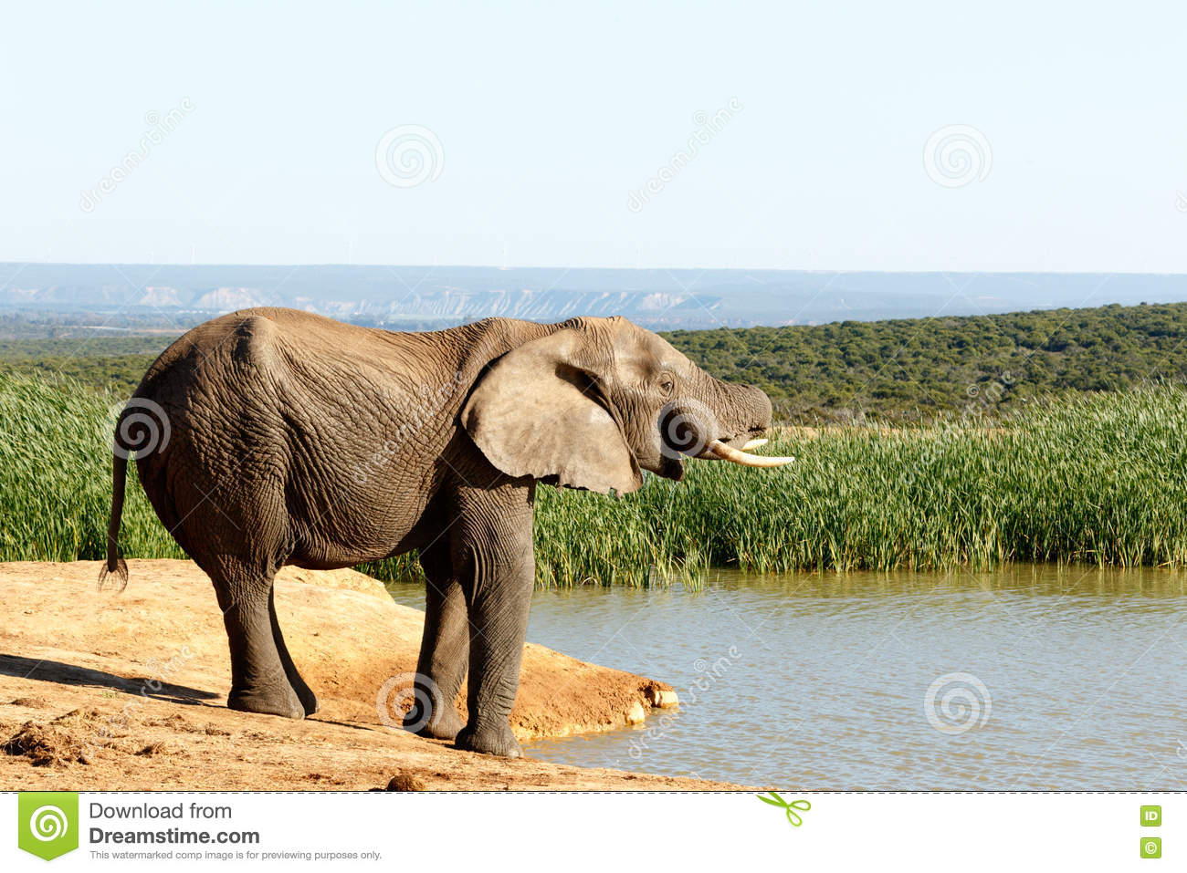 Almost - African Bush Elephant
