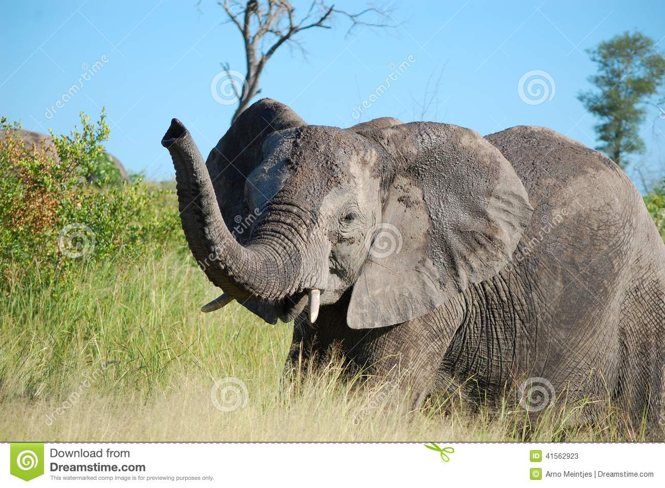 an overview of the african elephant or loxodonta africana Rapid population growth in an elephant loxodonta africana  we studied the demography of a subpopulation of african elephants loxodonta africana  an overview.