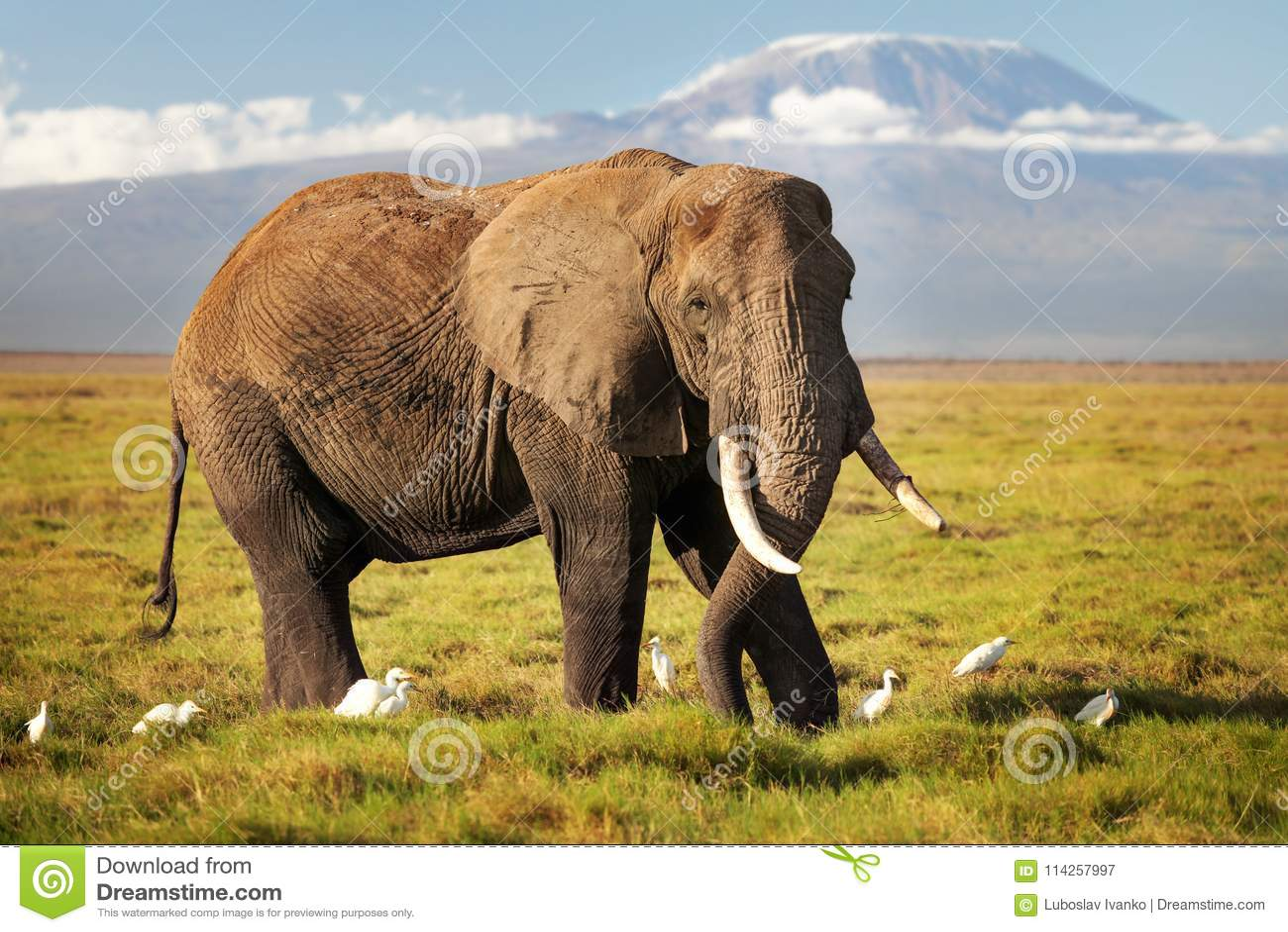 African bush elephant Loxodonta africana walking on savanna, w