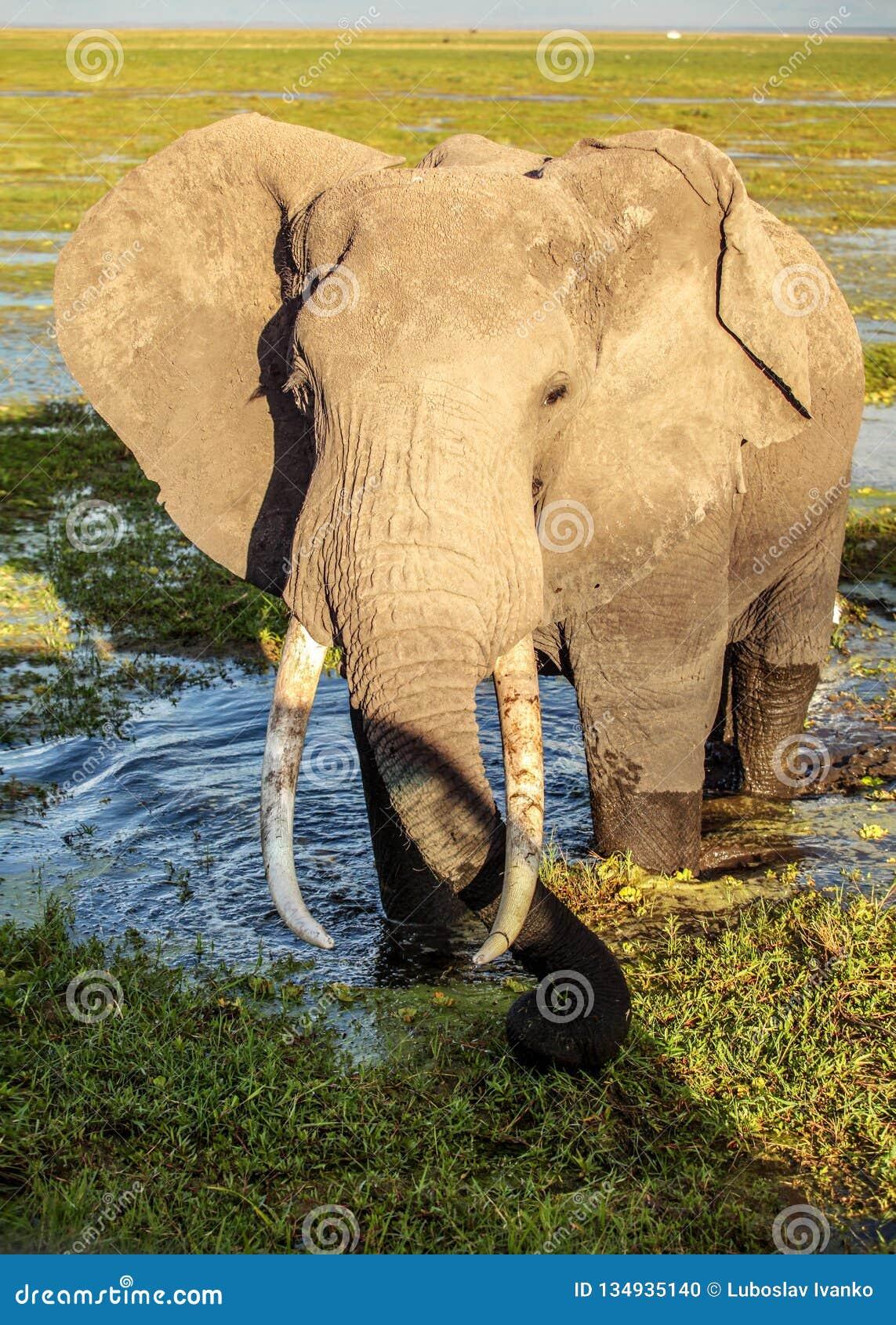 African bush elephant Loxodonta africana in wet swamp grass / shallow lake. Close encounter during safari in Amboseli park,