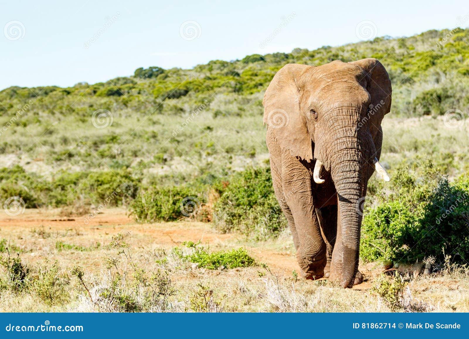 African Bush Elephant walking