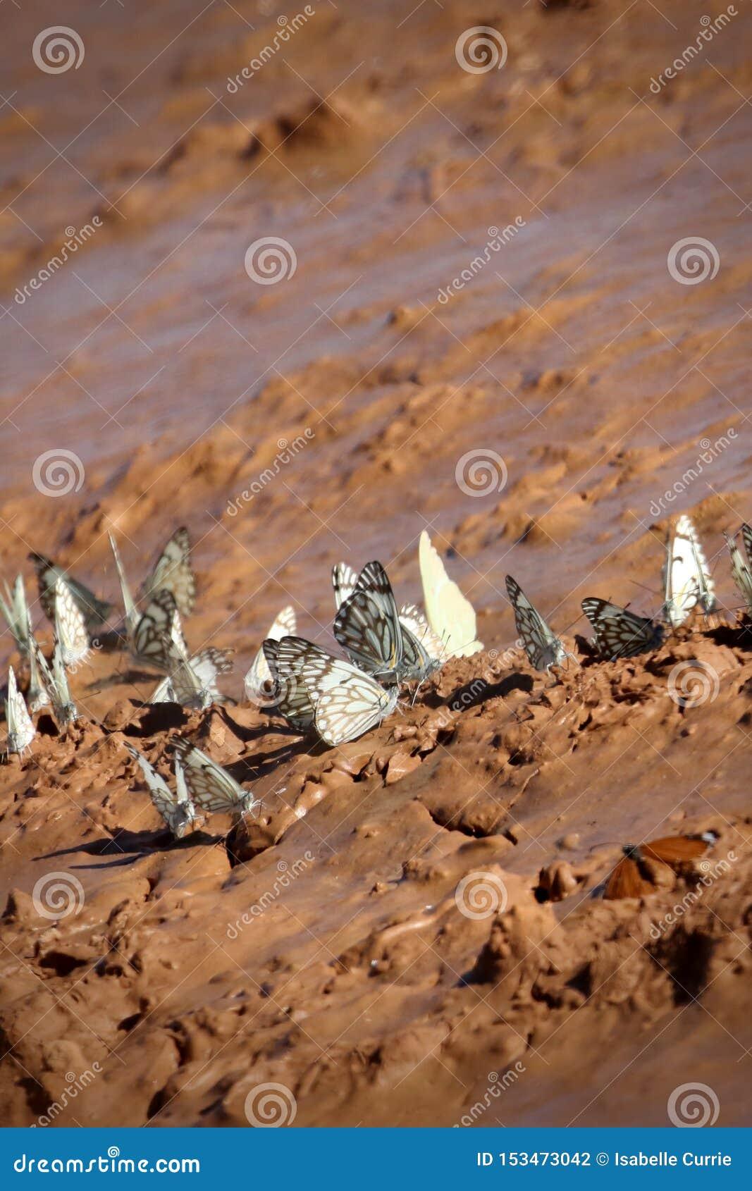 African butterflies after storm