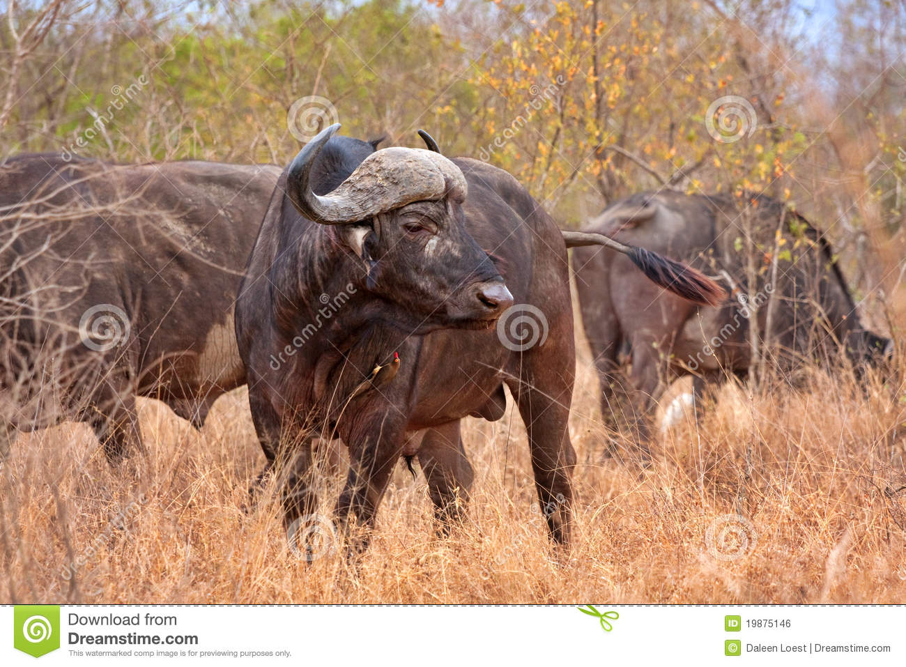 map of south africa showing kruger national park with Royalty Free Stock Image African Cape Buffalo Image19875146 on Henties bay namibia further 775501 besides Africa In Perspective as well Royalty Free Stock Image African Cape Buffalo Image19875146 likewise Western cape ac modation.