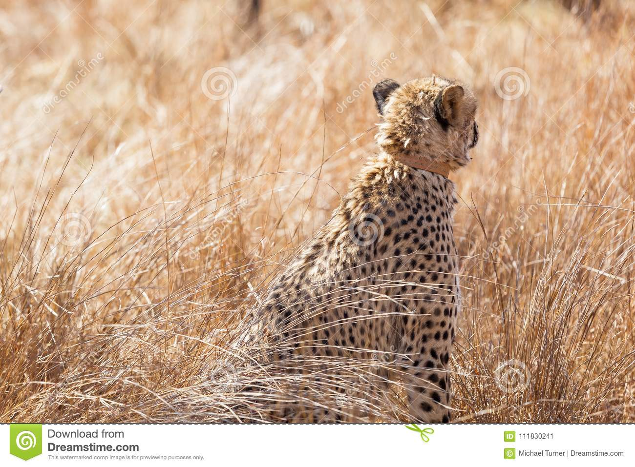 African Cheetah On Safari In A South African Game Reserve