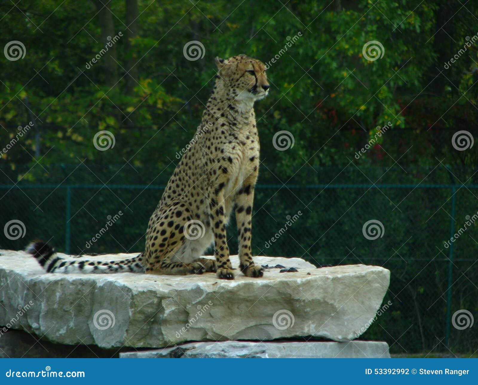 African cheetah sitting on a rock ledge.