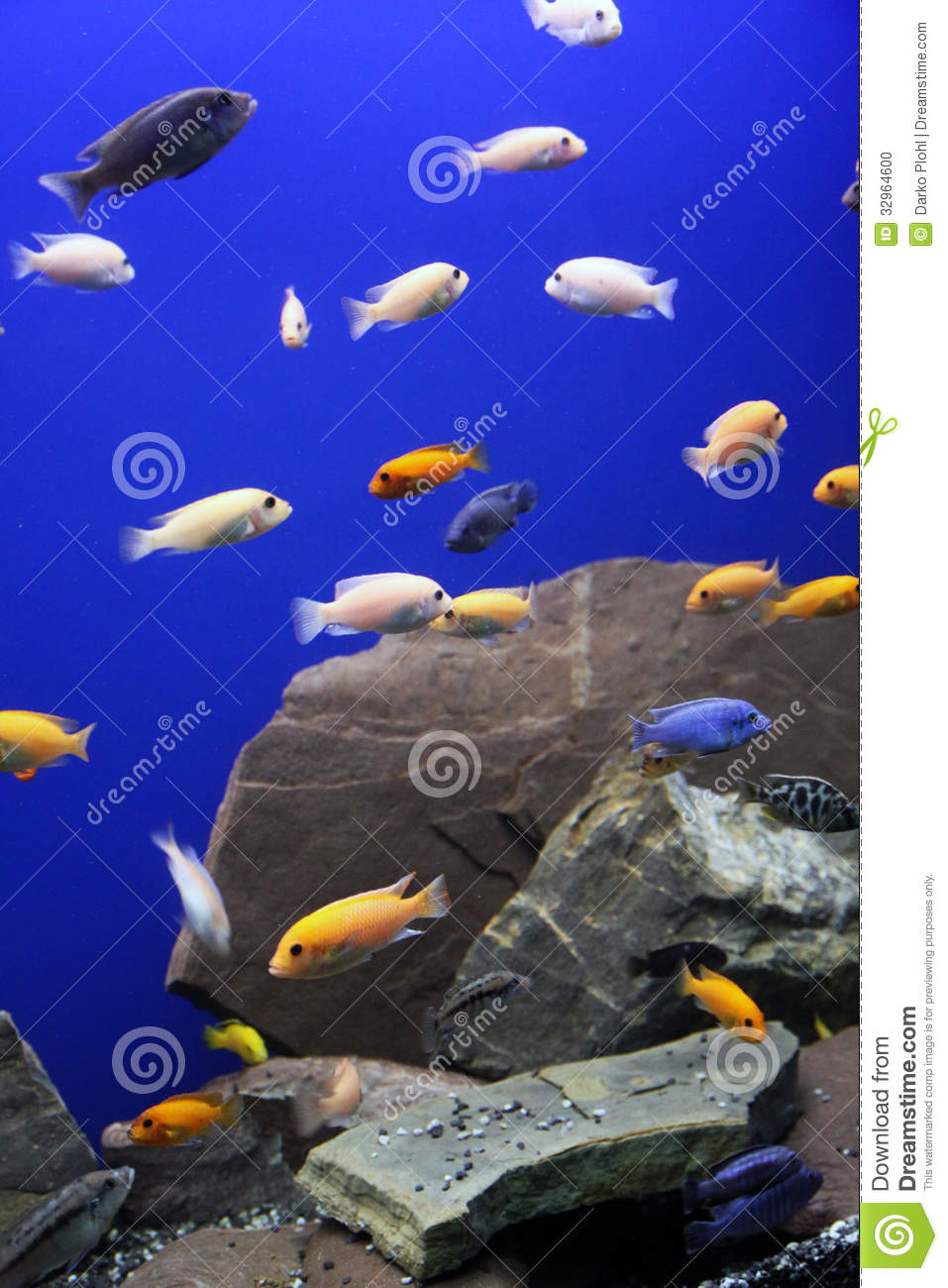 Black and yellow freshwater aquarium fish - African Cichlid Aquarium Tropical Fish