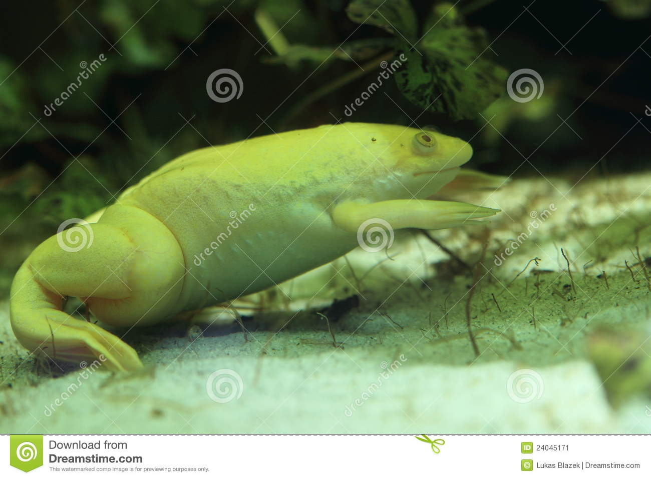 african clawed frog stock image image of frog xenopus 24045171 rh dreamstime com African Clawed Frog Habitat Female African Clawed Frog