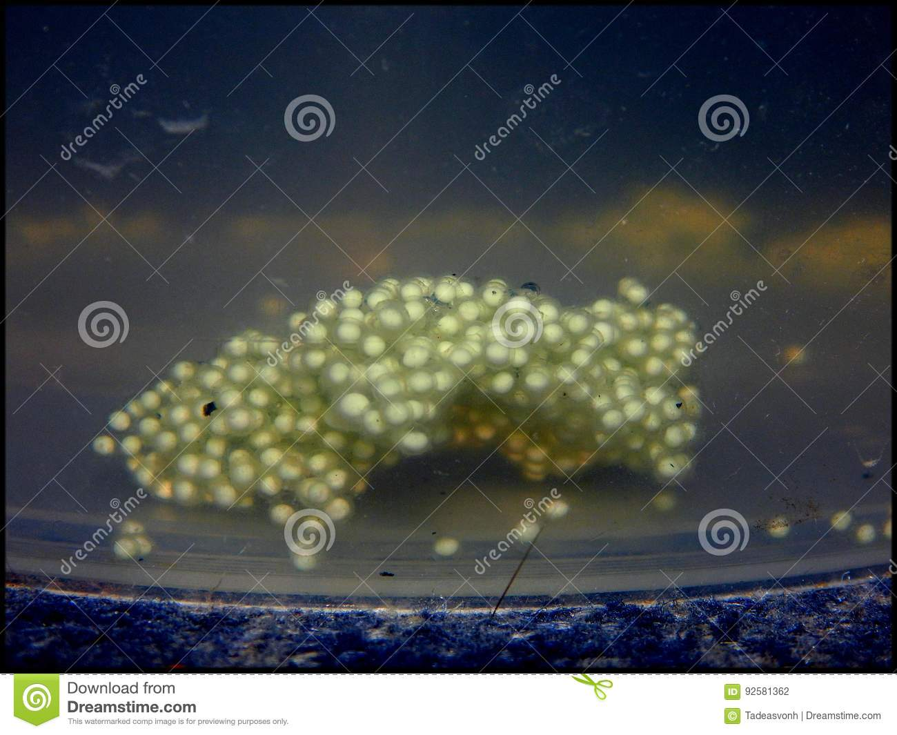 African clawed frog eggs stock photo  Image of clear - 92581362