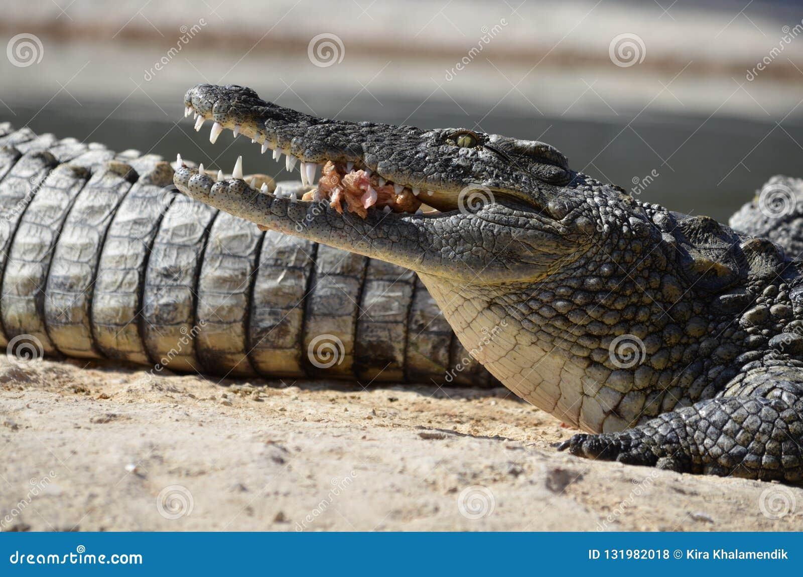 African crocodiles