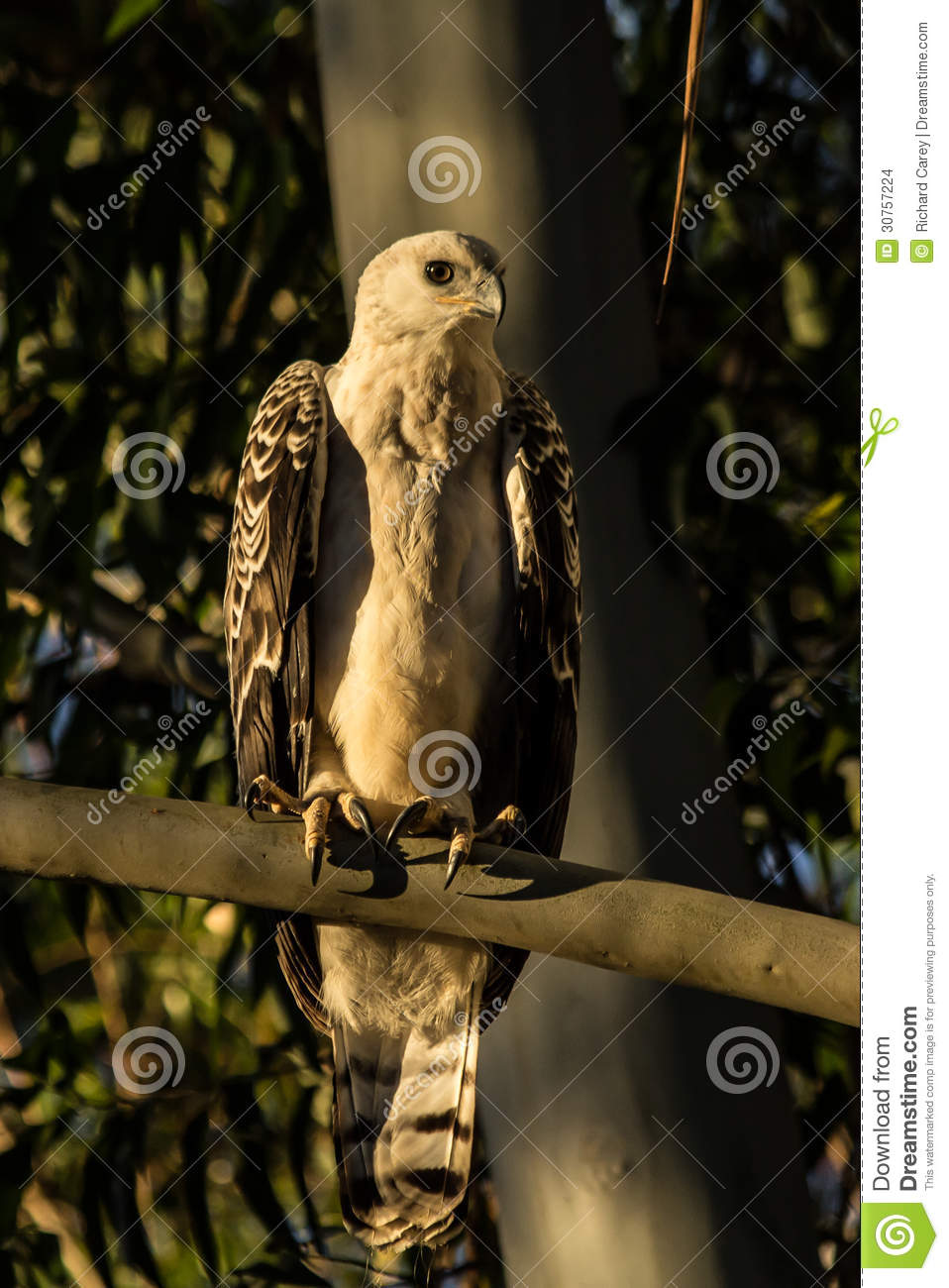 Crowned eagle – the most powerful eagle | DinoAnimals.com  |African Crowned Eagle Falconry