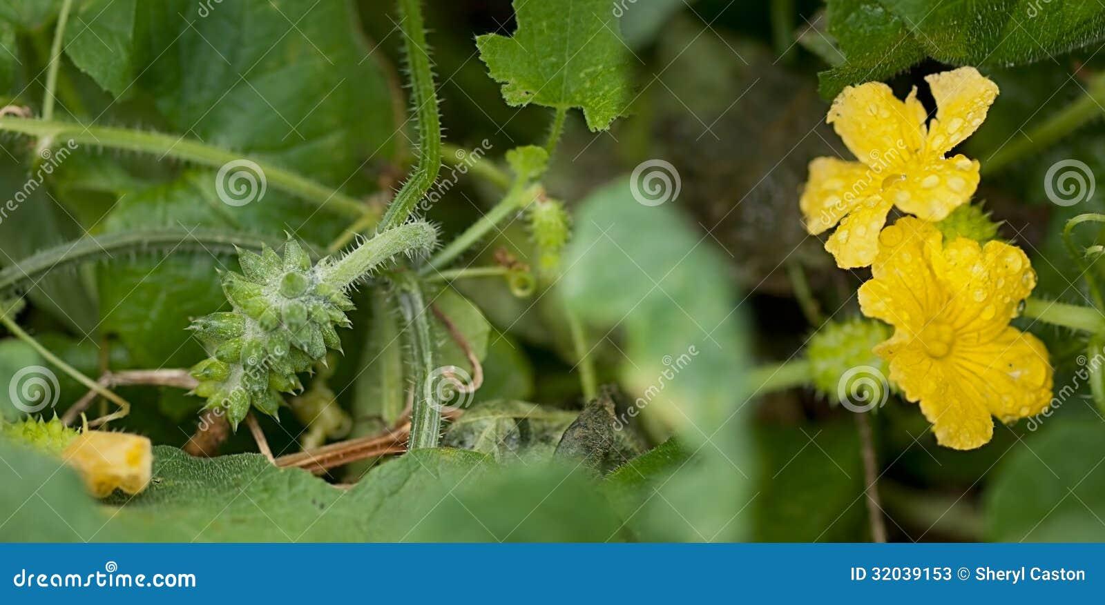 African Cucumber Cucumis Metuliferus, Kiwano, Horned Melon ...