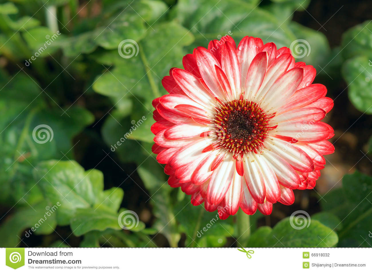 African daisy stock photo image of blooming closeup 66918032 the close up of flower of african daisy scientific name gerbera jamesonii izmirmasajfo
