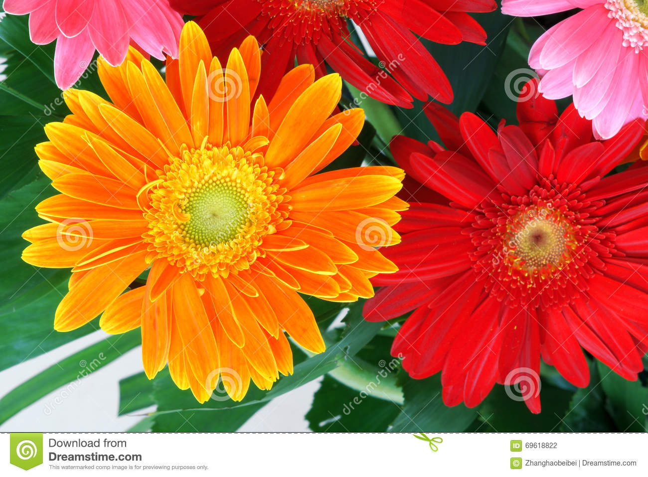 African daisy stock photo image of blossom jamesonii 69618822 the close up of flower of african daisyscientific namegerbera jamesonii izmirmasajfo