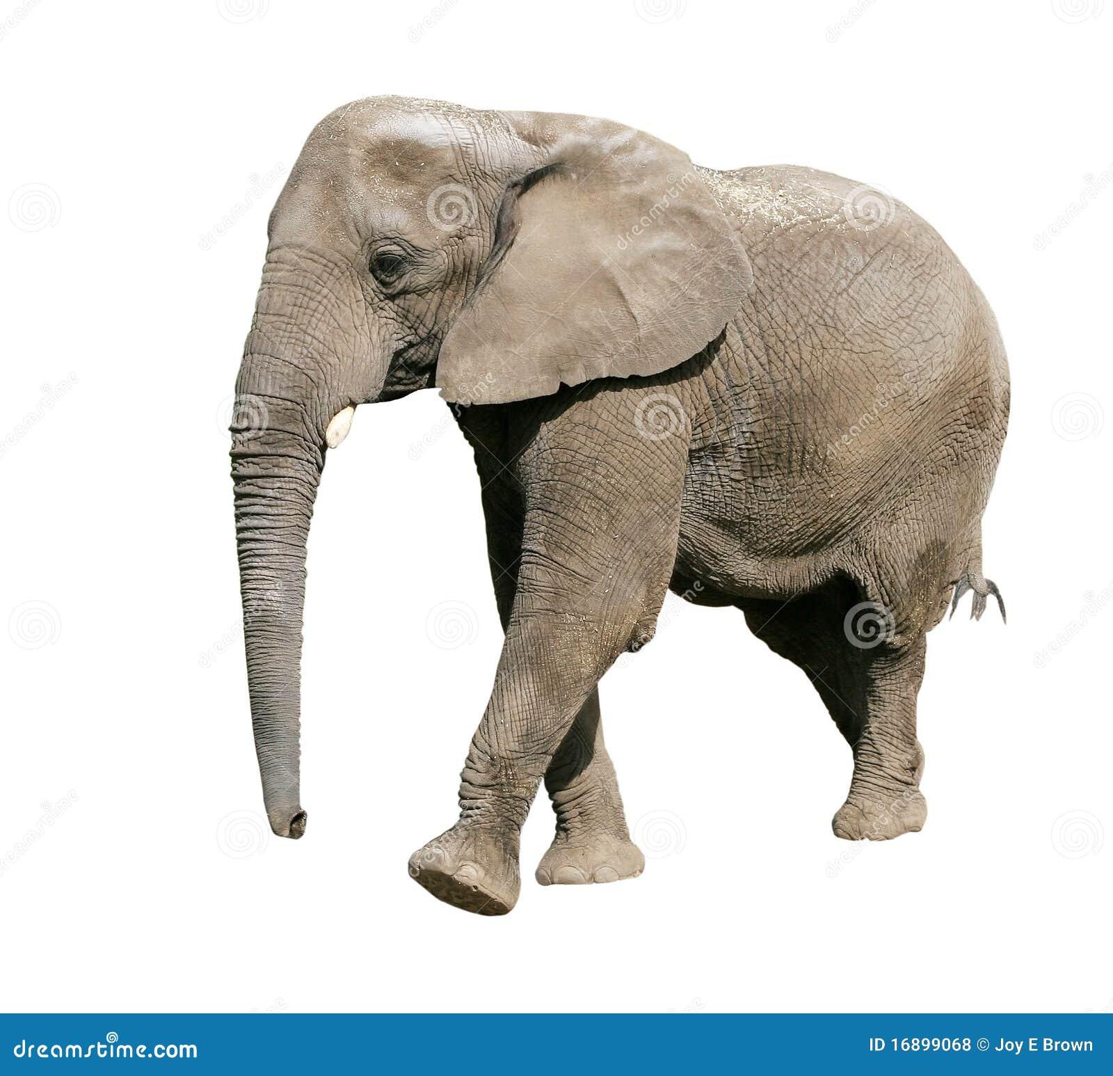 African elephant stock photo image of walking mammal 16899068 - Image elephant ...