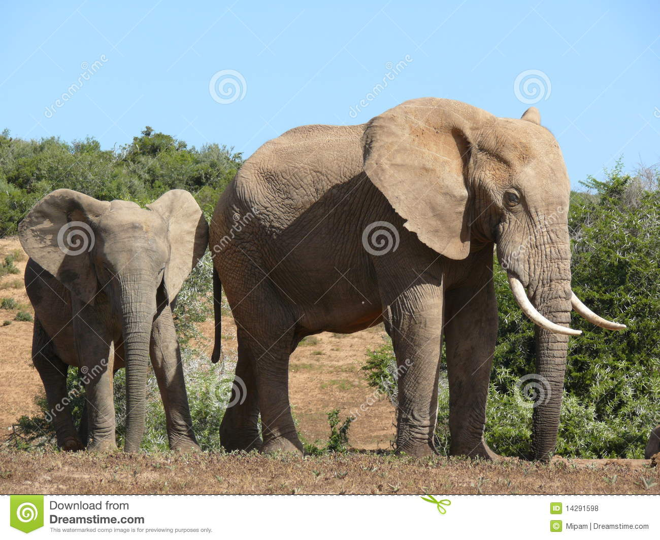 African Elephant Elephants Fighting Stock Photos & African ...