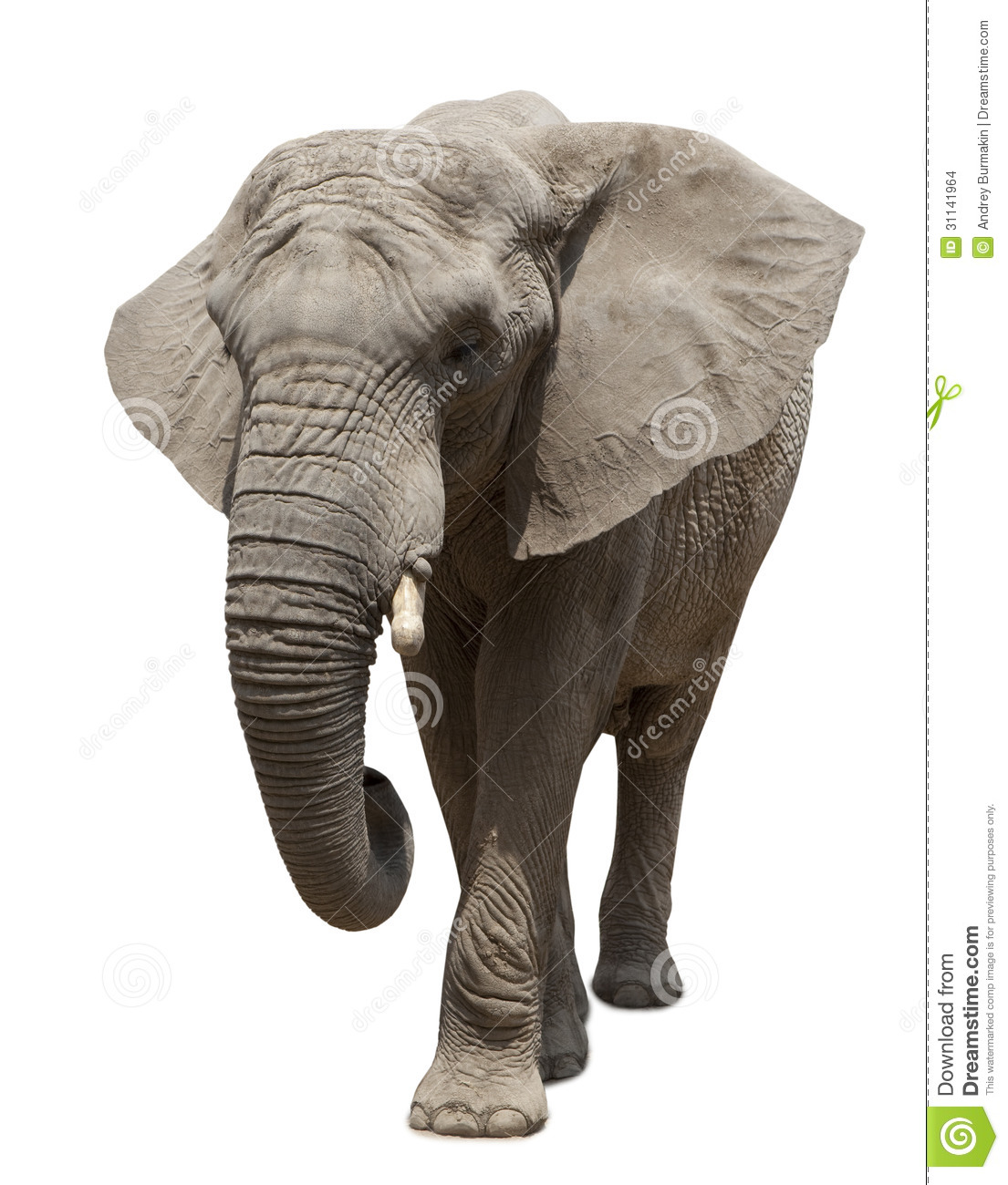 African Elephant Approaching Stock Photo Image 31141964