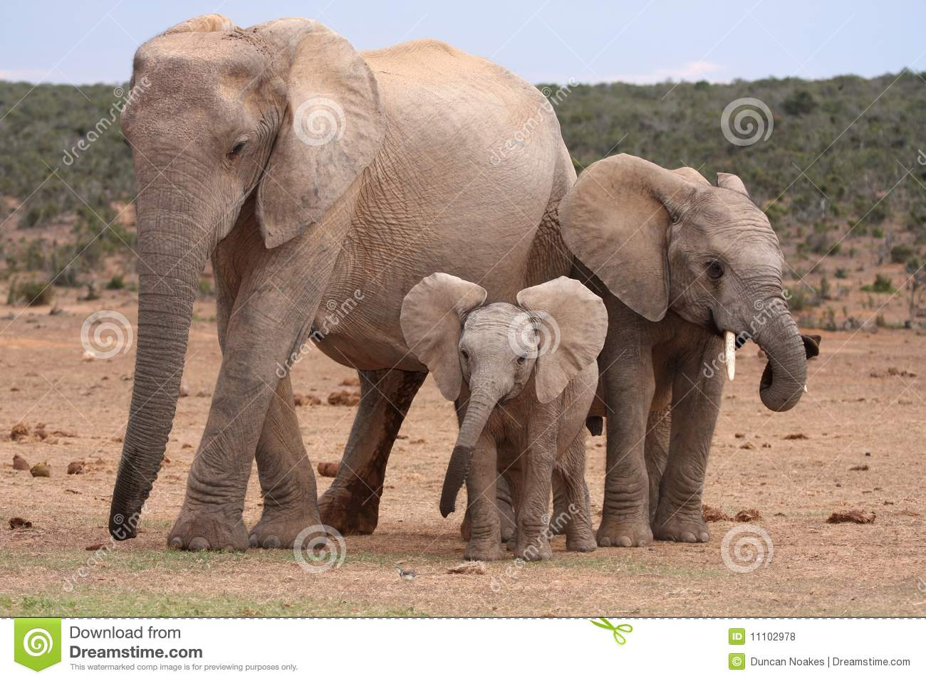 african elephant baby royalty free stock photos image