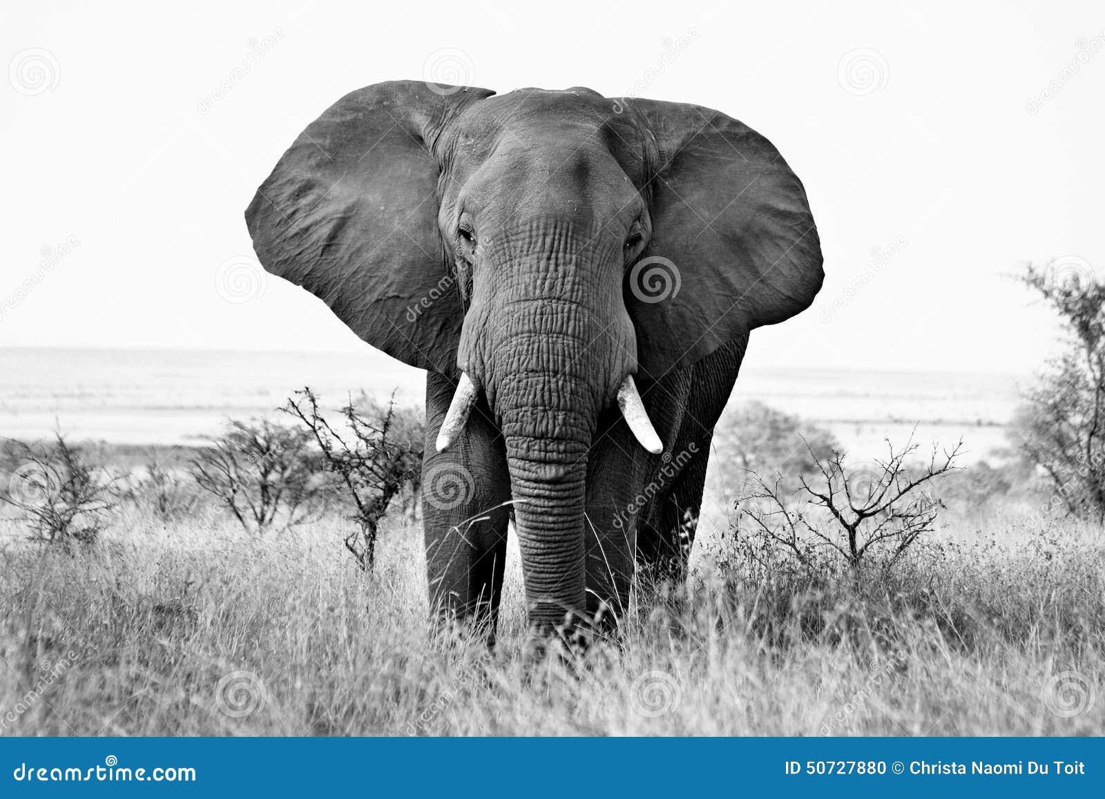African Elephant Stock Photo - Image: 50727880