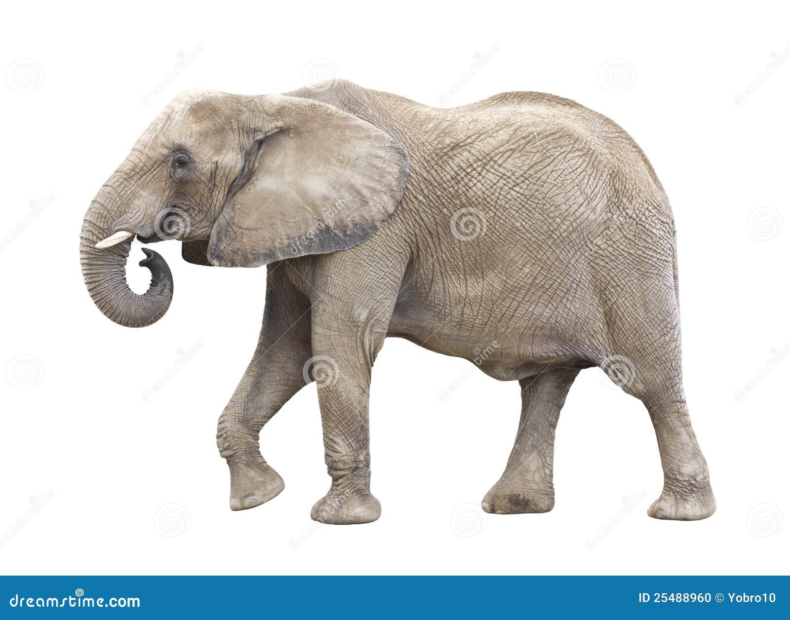 African elephant cutout stock photo image of horned 25488960 - Image elephant ...