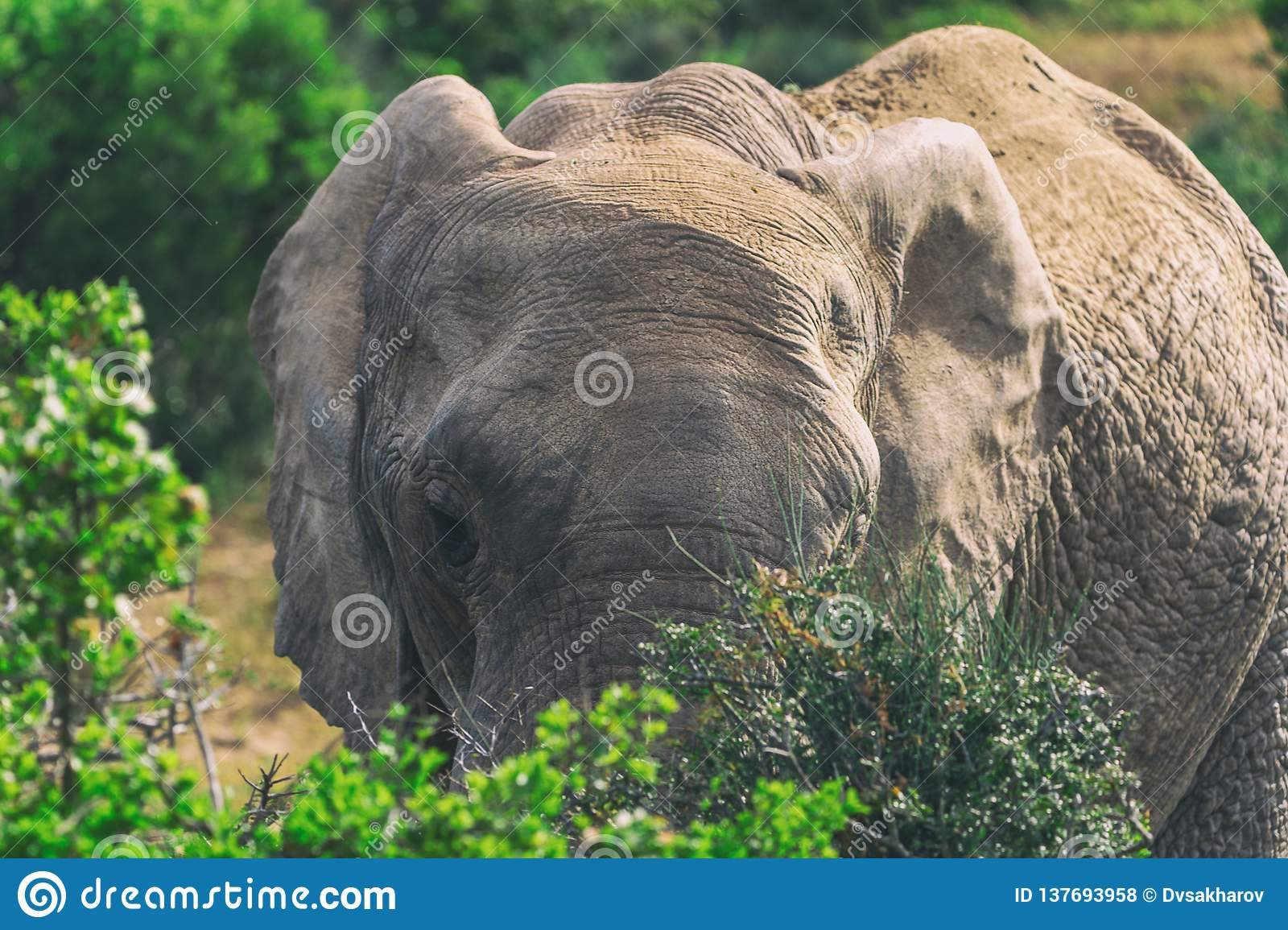 African elephant eating in bushes close up view in Addo National Park