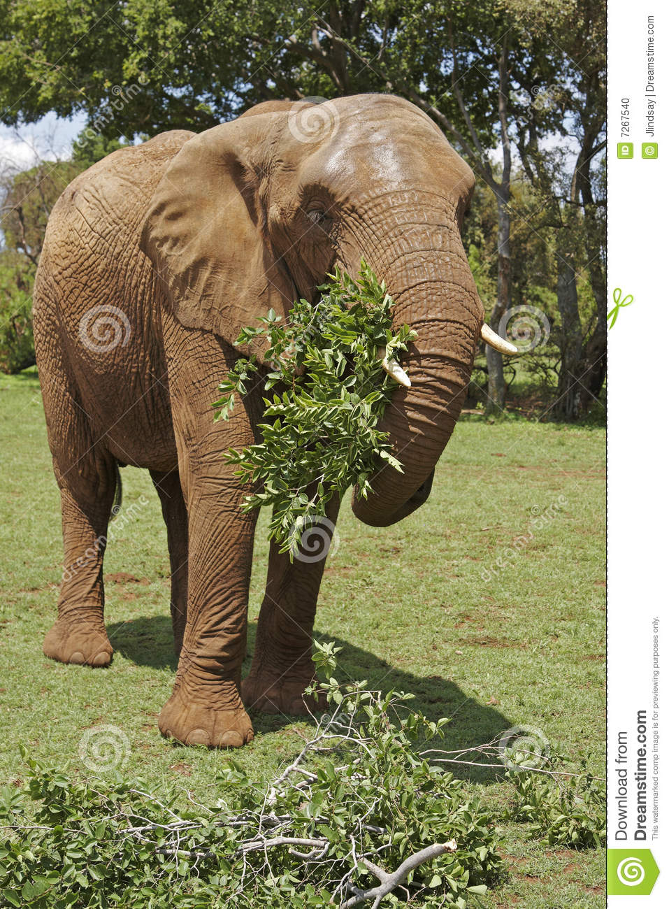 African Elephant Eating Leafy Branches Stock Photo Image